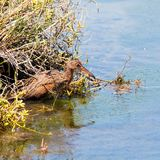 Ridgway`s Rail bird aka Rallus Obsoletus at Bird Sanctuary in Orange County California. Clapper Rail. royalty free stock photography