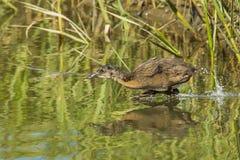 Ridgway's Rail Chick. Juvenile Ridgway's Rail, Formerly California Clapper Rail, Running In Tidal Marsh At The Tijuana Slough National Wildllife Refuge, Imperial Stock Photo