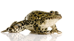 ridibunda Раны болотоа лягушки Стоковая Фотография RF