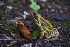 Ridibundus de Marsh Frog Pelophylax del eurasiático fotos de archivo libres de regalías