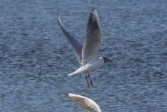 Ridibundus di Chroicocephalus del gabbiano comune e dell'ala contro le chiare acque blu del lago Ocrida, Macedonia fotografie stock libere da diritti
