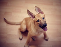 Ridiculous beige puppy of a mongrel. Stock Photography