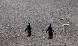 Ridiculous couple of penguins on a stone coast. Royalty Free Stock Image