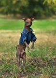 Ridiculous dog Stock Image