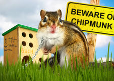 Ridiculous malicious chipmunk Stock Images