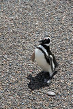 Ridiculous and proud penguin on the stone soil. Stock Image