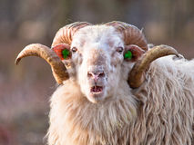 Ridiculous sheep. Sheep with big horns putting up ridiculous face Royalty Free Stock Image