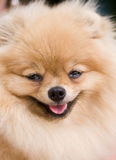 Ridiculous smiling spitz-dog Royalty Free Stock Photos