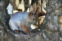 Ridiculous squirrel Stock Image