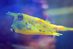 Ridiculous yellow cowfish in aquarium. Royalty Free Stock Image