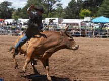 Riding The Bull. Rodeo Rider on a Bull Royalty Free Stock Photography