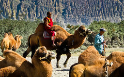 Riding Camel Royalty Free Stock Image