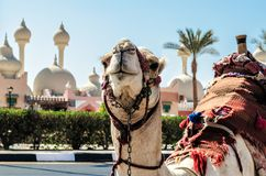 A riding camel in a bright blanket on the sunny street of Sharm. Camel in a bright blanket on the sunny street of Sharm Royalty Free Stock Image