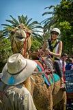 Riding a camel in Sydney Stock Photos