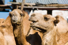 Riding camels. In Maralal, Kenya Royalty Free Stock Photography