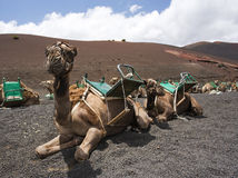 Riding camels waiting for tourists at lanzarote Royalty Free Stock Images