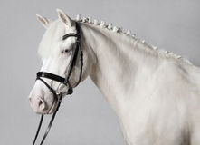 Riding Pony Schimmel white background Stock Image