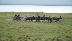 Riding a reindeer. Herders of the Yamal Peninsula. Summer in tundra stock video footage