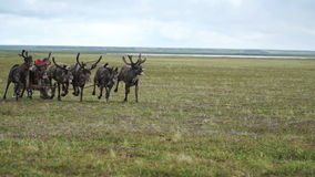 Riding a reindeer. Herders of the Yamal Peninsula. Summer in tundra stock video
