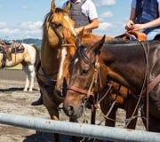 Riding saddled horses Stock Photo