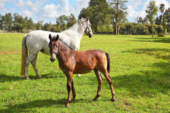 Riding school and breeding of thoroughbred horses. White horse with the foal. Green lawn for walking of Arabian horses stock photo