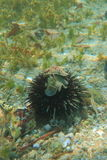 Riding on a sea-urchin Stock Images