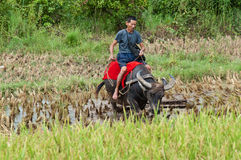 Riding the water buffalo Royalty Free Stock Photography