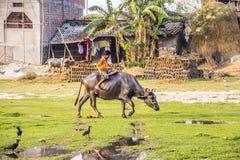 Riding a water buffalo Royalty Free Stock Photo