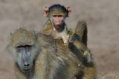 Riding. Young Baboon riding on mother's back while leaching a bunch of flowers Stock Images