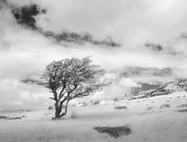 Ridit ut träd, Bodmin hed, Cornwall, UK arkivbilder