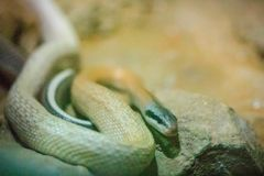 Ridley's beauty snake, cave dwelling ratsnake, cave racer (Orthr. Iophis taeniurus ridleyi), is a species of snake in the family Colubridae Royalty Free Stock Image