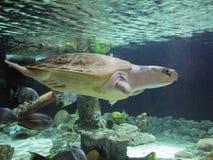 Ridley Sea Turtle atlântico Imagem de Stock Royalty Free