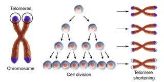Riduzione del telomero con ogni giro di divisione cellulare illustrazione vettoriale