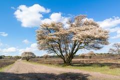 Ridväg och serviceberry i våren, Nederländerna royaltyfria bilder