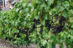 Rie de las uvas para escoger en Zell Mosela Imagen de archivo