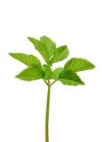 Rieb Ältestes (Aegopodium podagraria) Stockfotos