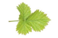 Rieb Ältestes (Aegopodium podagraria) Lizenzfreies Stockfoto
