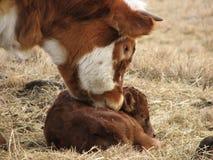 Riechen des neugeborenen Kalbs Lizenzfreies Stockbild