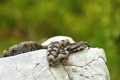 Riechen Sie die Hornviper, die auf einem Felsen im natürlichen Lebensraum sich aalt Stockfoto