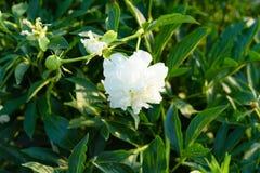 Riechende Blätter eines frische Duft-Grüns der Blume Lizenzfreie Stockfotografie