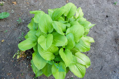 Riechende Blätter eines frische Duft-Grüns der Blume Stockbilder
