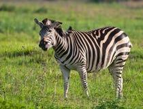 Riechende Blumen des Zebra Stockbilder