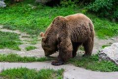 Riechende Spuren des Bären Lizenzfreie Stockbilder