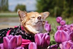 Riechende Tulpen der langhaarigen Chihuahua Lizenzfreies Stockfoto