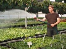Riego de las plantas de la casa verde Fotos de archivo libres de regalías
