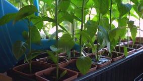 Riego de las plantas de la pimienta de la regadera almacen de video