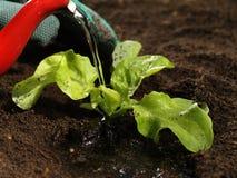 Riego de una planta, primer Imagenes de archivo