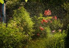 Riego en el jardín temprano por la mañana Imagenes de archivo