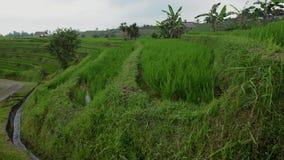 Riego en terrazas del arroz Terrazas del arroz en Tegallalang, Ubud, Bali, Indonesia almacen de video