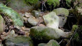 Riegue de los flujos de corriente entre las piedras, cayendo abajo almacen de video